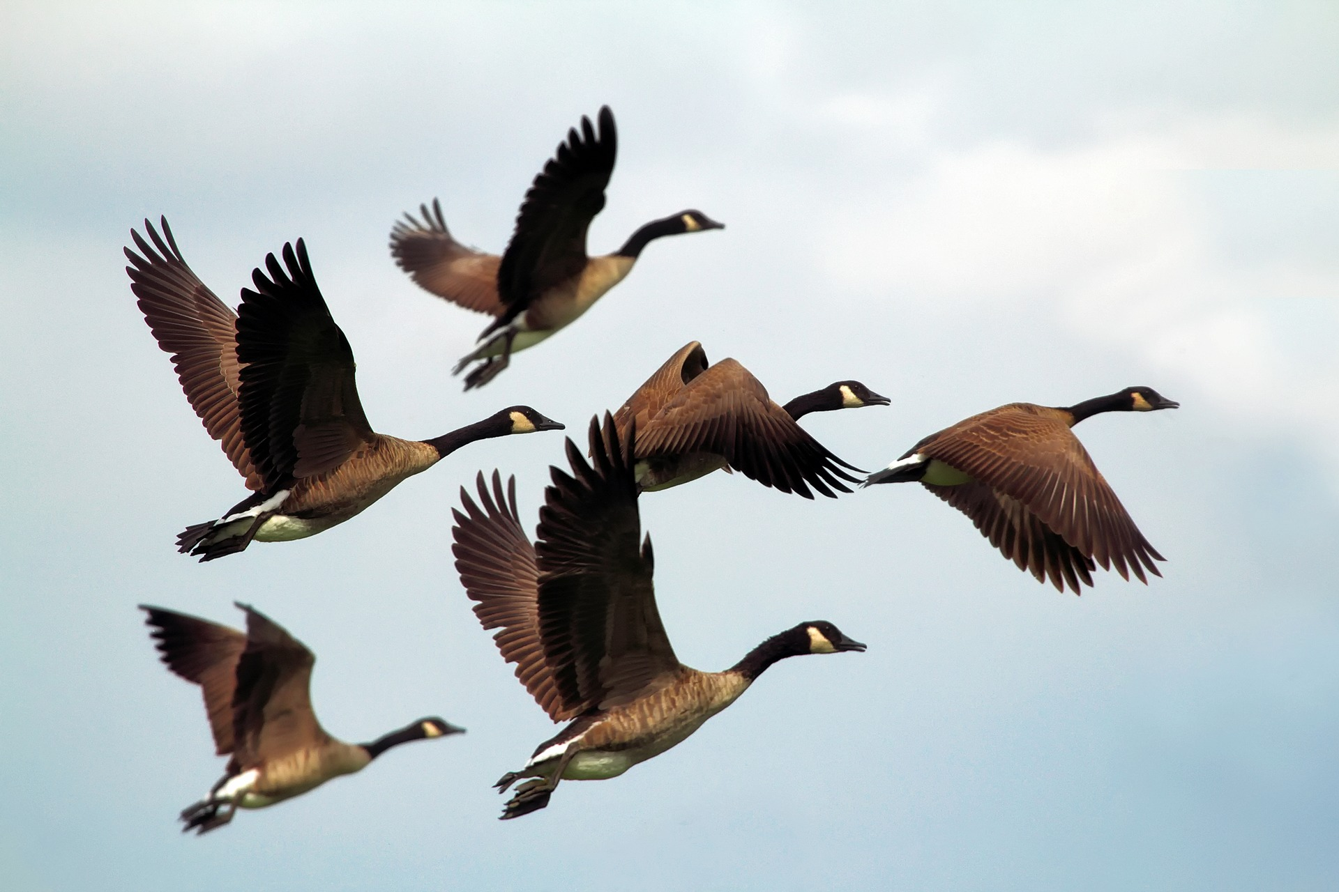 geese-1990202_1920